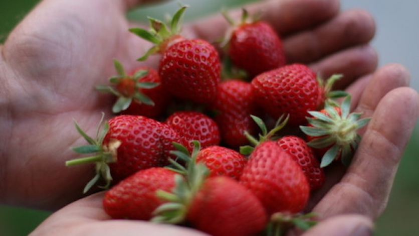 Strawberry season for Flushing Queens CSA