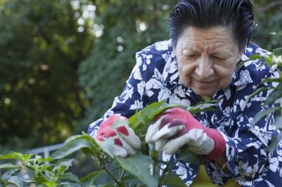 Clara Leb picks jalapeños at the Queens Botanical Garden in Flushing.